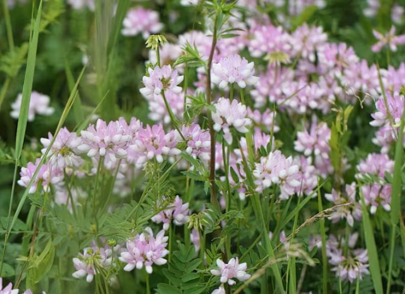 Красиві польові і лугові квіти: жовті, білі, сині, рожеві, фіолетові 47
