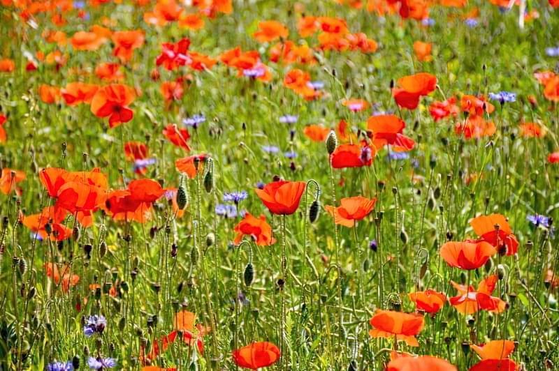 Красиві польові і лугові квіти: жовті, білі, сині, рожеві, фіолетові 50