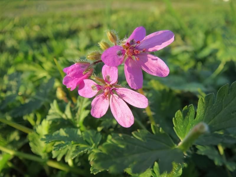 Красиві польові і лугові квіти: жовті, білі, сині, рожеві, фіолетові 44