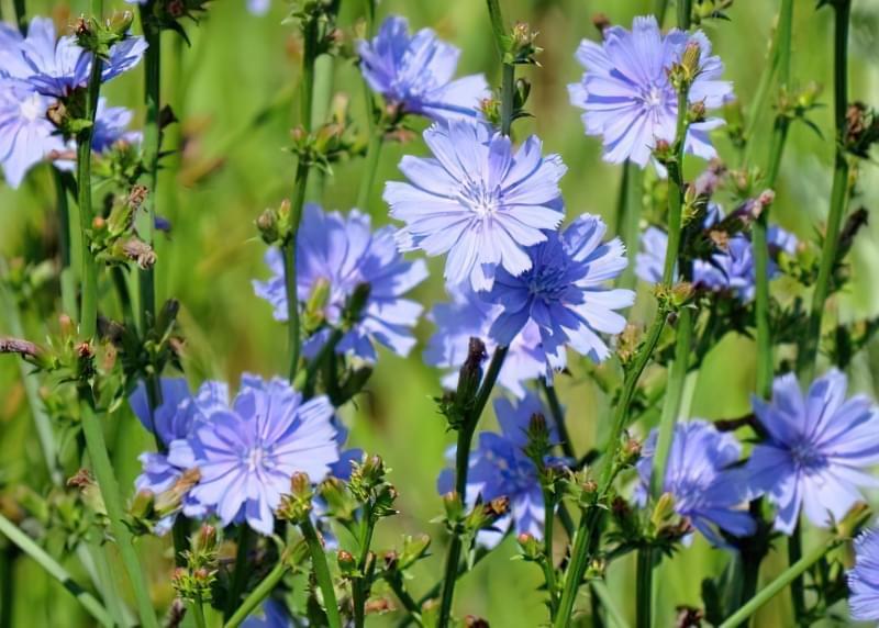 Красиві польові і лугові квіти: жовті, білі, сині, рожеві, фіолетові 31