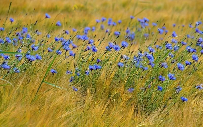Красиві польові і лугові квіти: жовті, білі, сині, рожеві, фіолетові 23