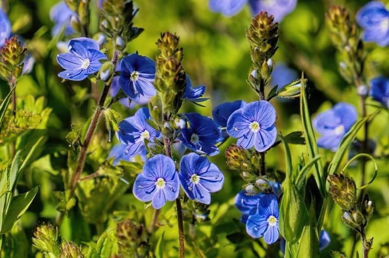 Красиві польові і лугові квіти: жовті, білі, сині, рожеві, фіолетові 24