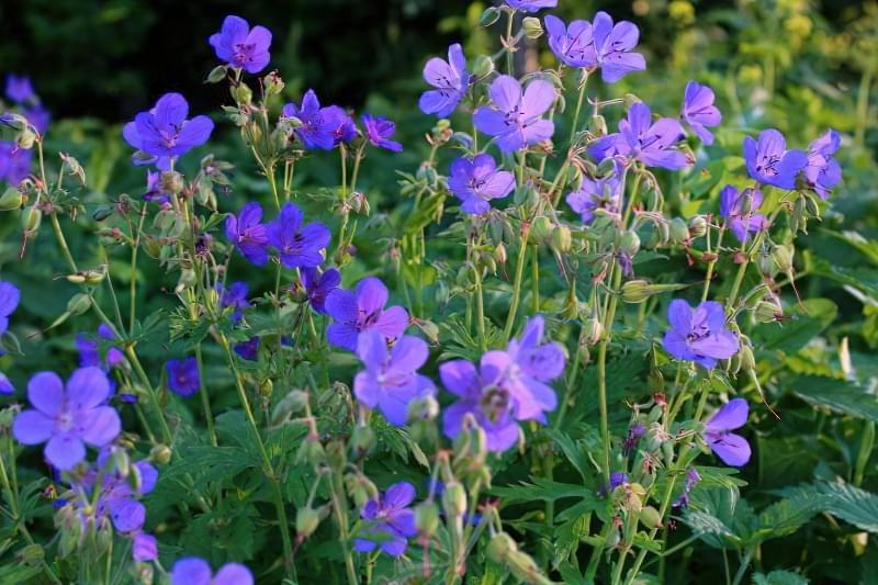 Красиві польові і лугові квіти: жовті, білі, сині, рожеві, фіолетові 25