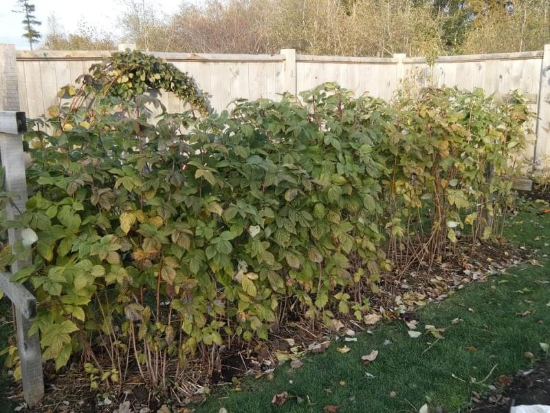 Чим і як підживити малину восени 1