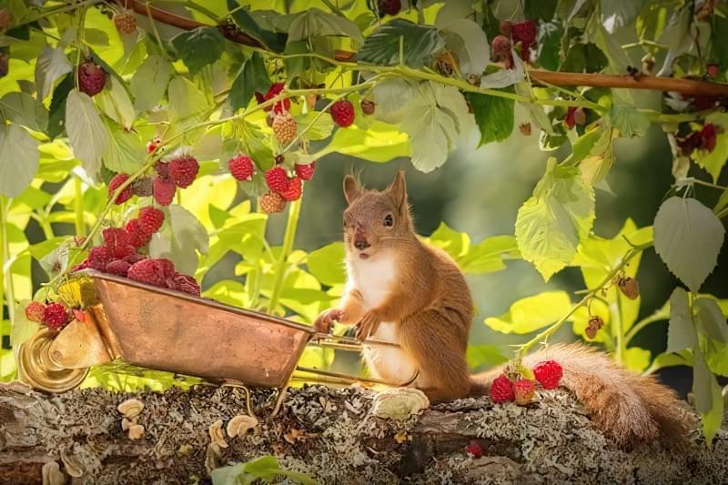 Чим і як підживити малину восени 4