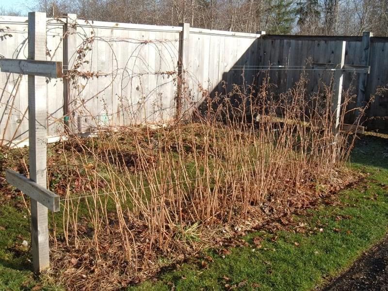 Чим і як підживити малину восени 2