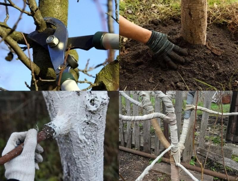 Підготовка яблунь до зими: правила догляду за деревами восени 1