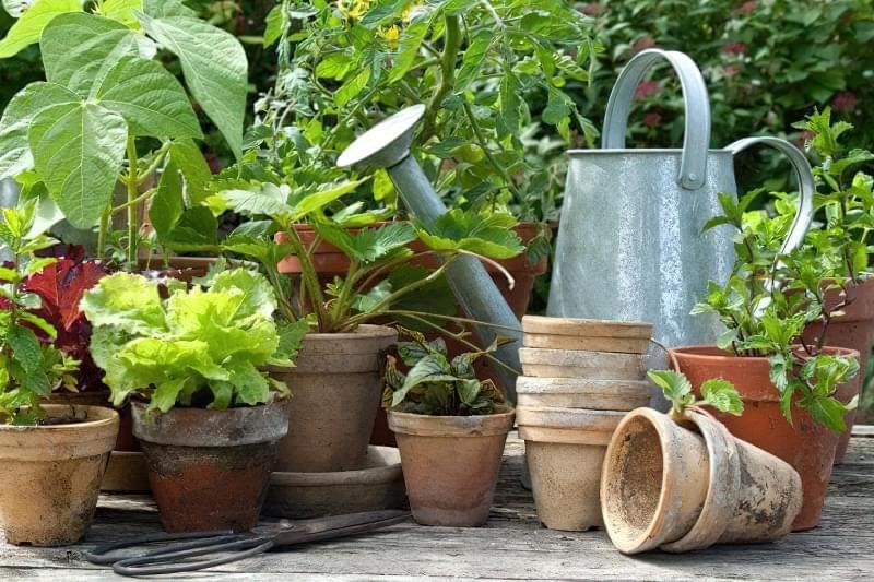 Які овочі можна пересадити в горщик, щоб продовжити збір врожаю взимку? 3