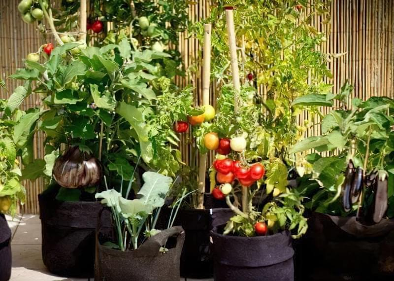 Які овочі можна пересадити в горщик, щоб продовжити збір врожаю взимку? 2