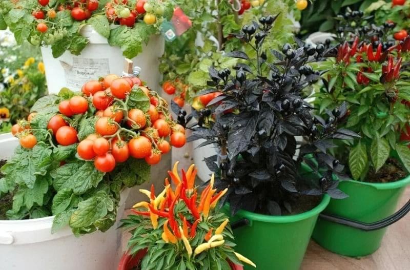 Які овочі можна пересадити в горщик, щоб продовжити збір врожаю взимку? 1