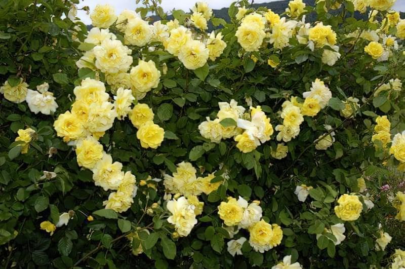 Кращі сорти плетистих троянд, які добре переносять холод 2
