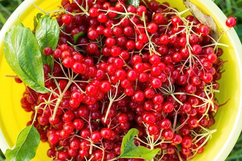 Коли збирати ягоди калини: терміни збору, як зберігати 2