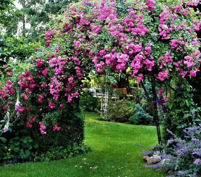 Кращі сорти плетистих троянд, які добре переносять холод 3