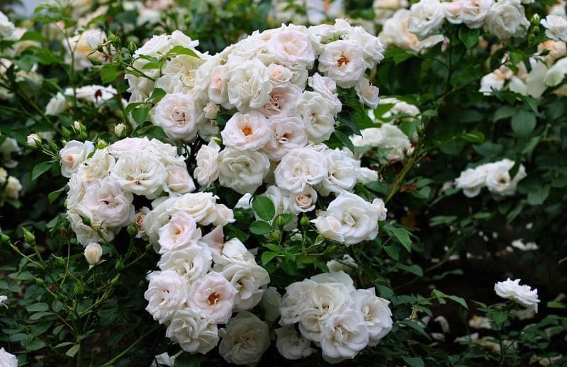 Кращі сорти плетистих троянд, які добре переносять холод 4