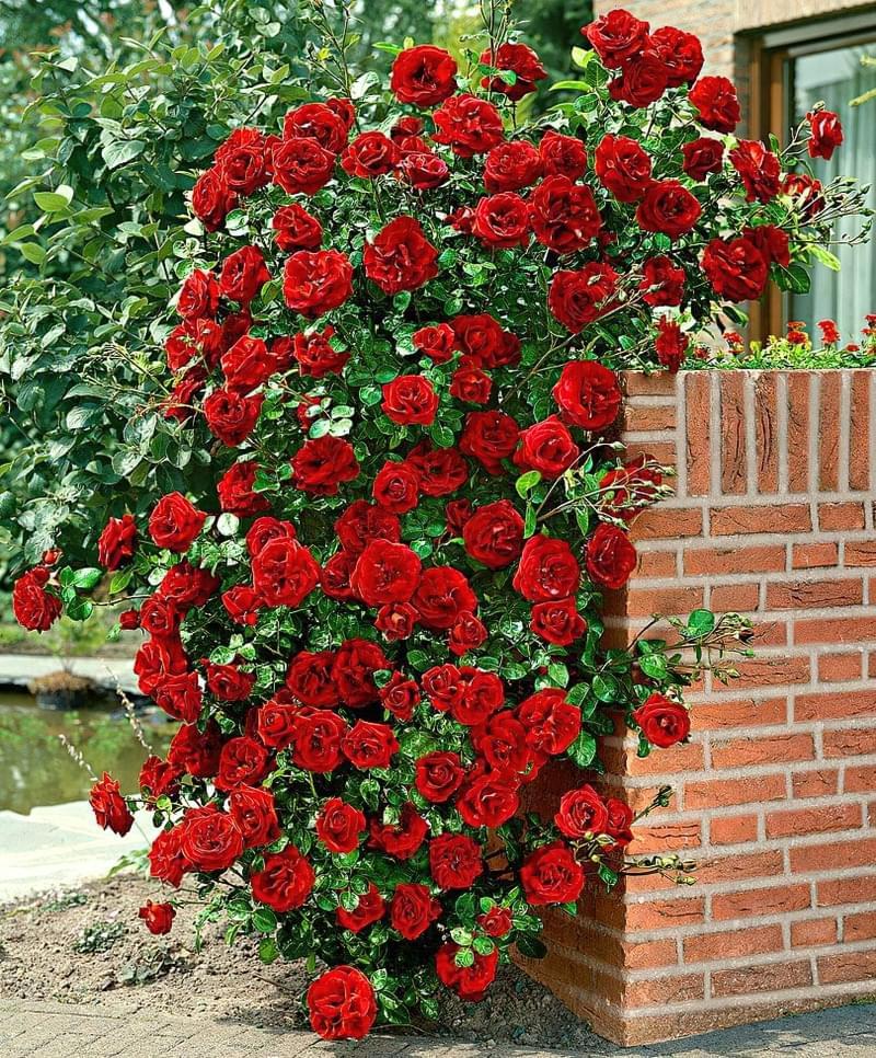 Кращі сорти плетистих троянд, які добре переносять холод 5