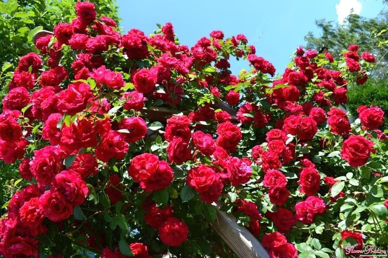 Кращі сорти плетистих троянд, які добре переносять холод 1