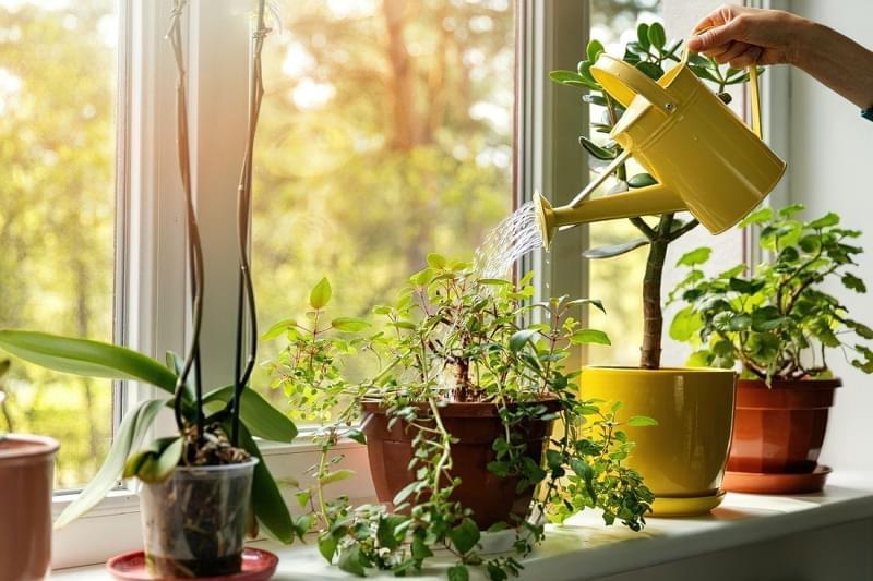 Підготовка кімнатних рослин до зими: підживлення, полив, догляд 2