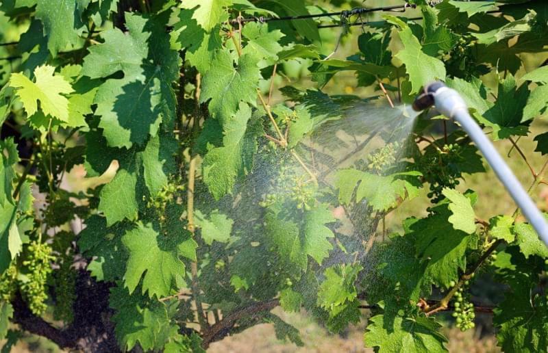 Обробка винограду препаратом Квадріс 4