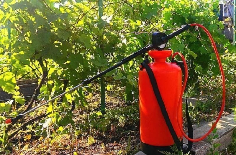 Обробка винограду препаратом Квадріс 3