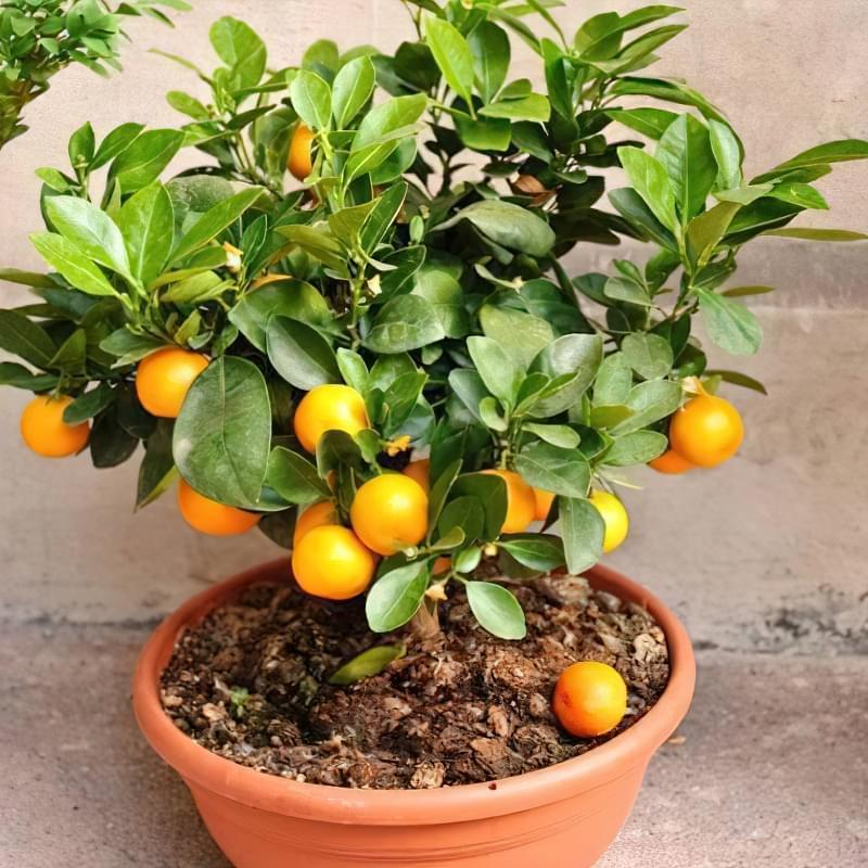Вирощування мандаринового дерева в горщику в домашніх умовах 3