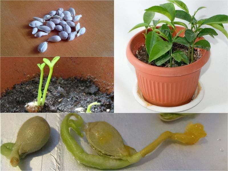 Вирощування мандаринового дерева в горщику в домашніх умовах 4