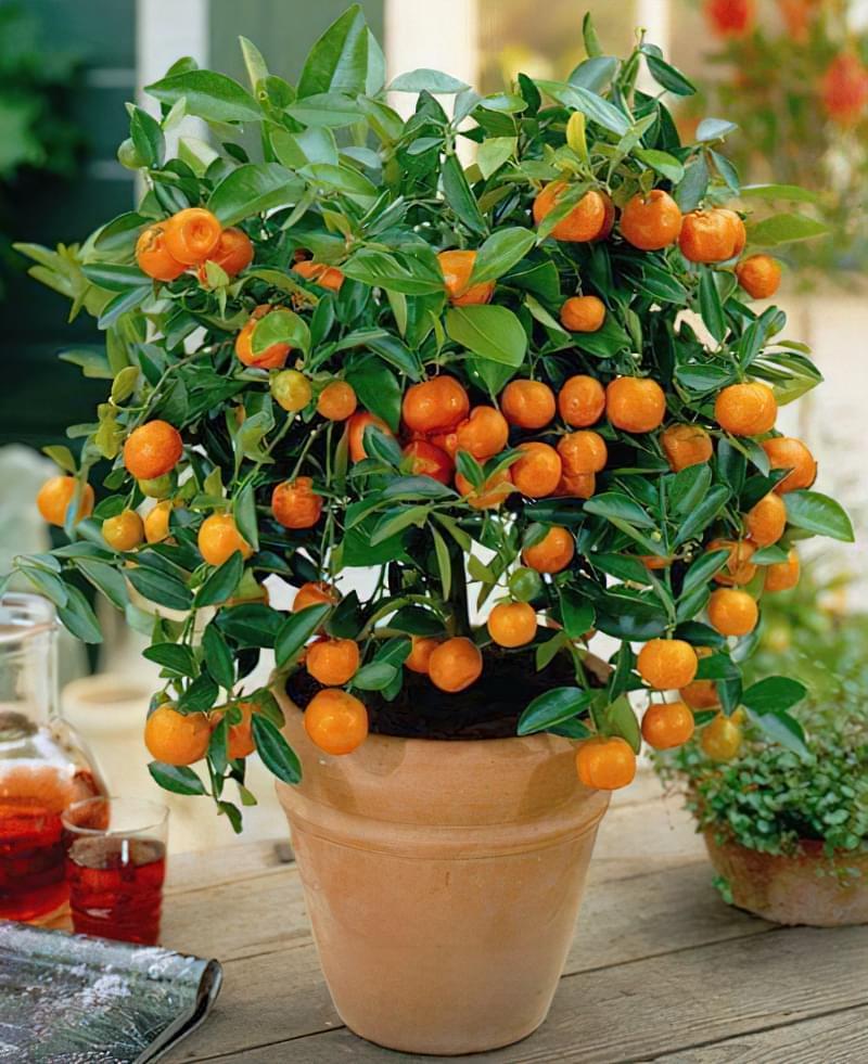 Вирощування мандаринового дерева в горщику в домашніх умовах 1