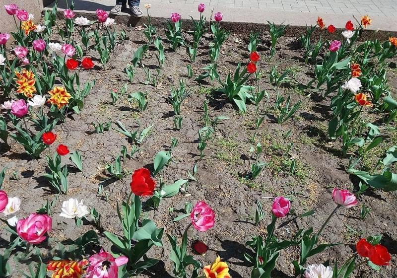 Квіти, цибулини яких варто посадити восени 2
