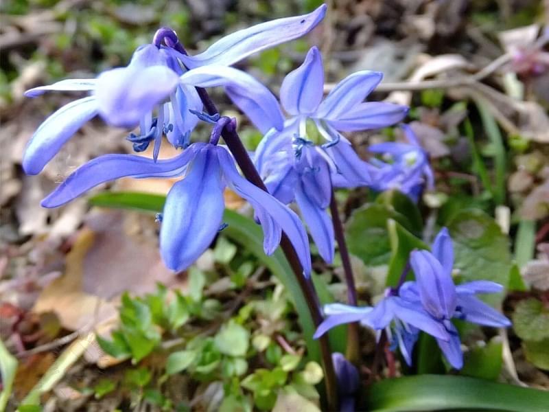 Квіти, цибулини яких варто посадити восени 4