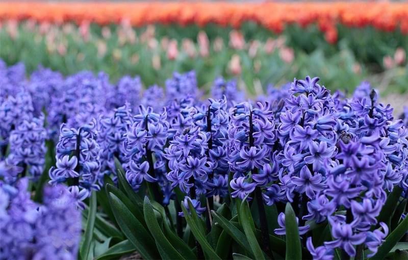 Квіти, цибулини яких варто посадити восени 5