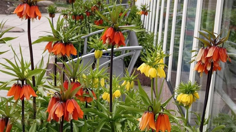 Квіти, цибулини яких варто посадити восени 6