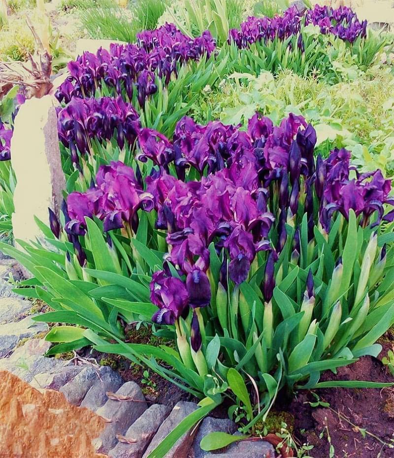 Квіти, цибулини яких варто посадити восени 7