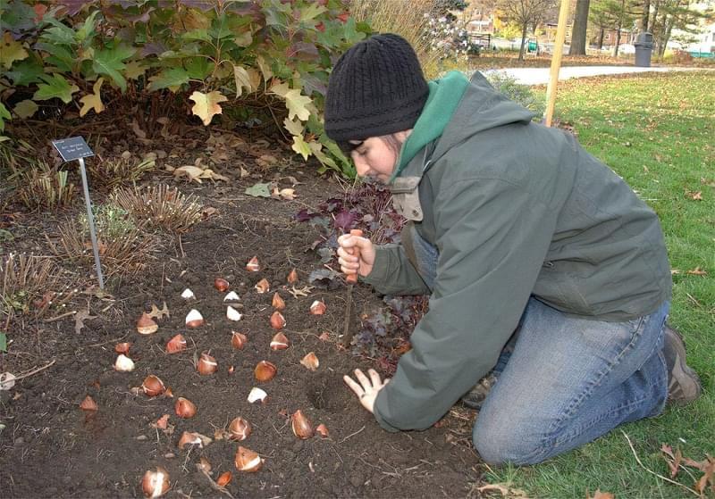 Квіти, цибулини яких варто посадити восени 10