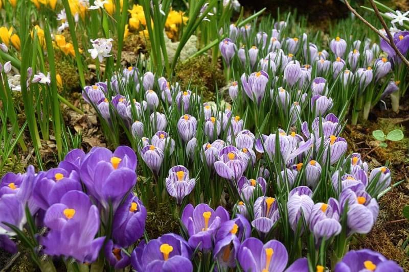 Квіти, цибулини яких варто посадити восени 1