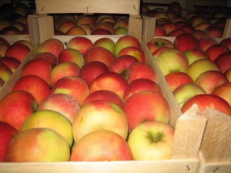 Способи і умови зберігання яблук взимку 5
