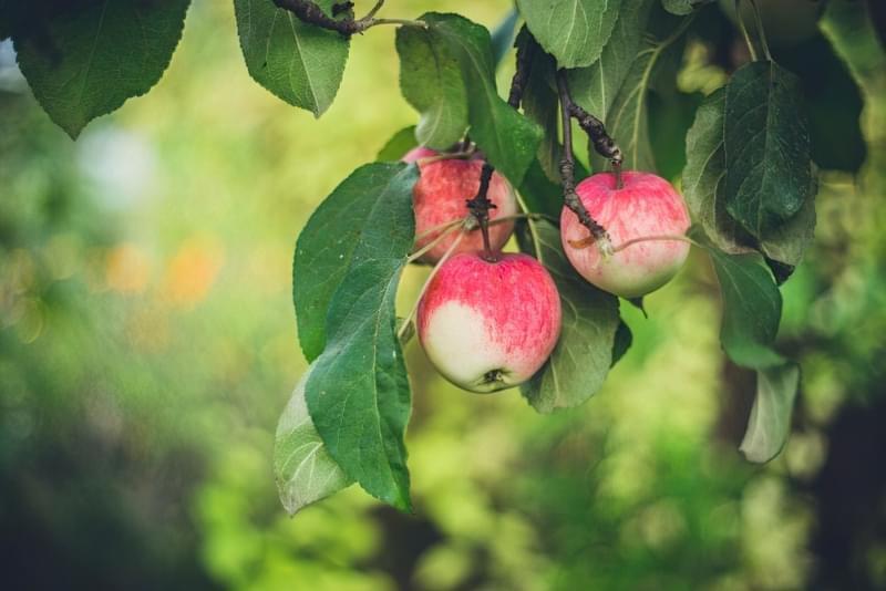 Способи і умови зберігання яблук взимку 1