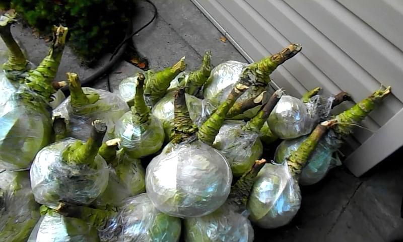 Як і в чому зберігати зимову капусту в домашніх умовах 3