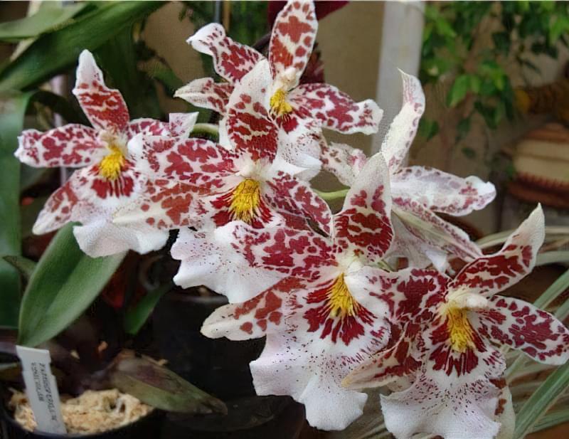 Кімнатна Камбрія - опис та вирощування строкатих орхідей 7