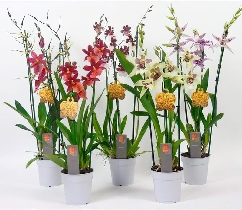 Кімнатна Камбрія - опис та вирощування строкатих орхідей 1