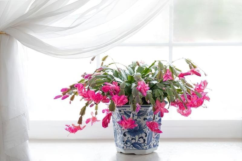 Квітучі кімнатні рослини до Нового Року та Різдва 1