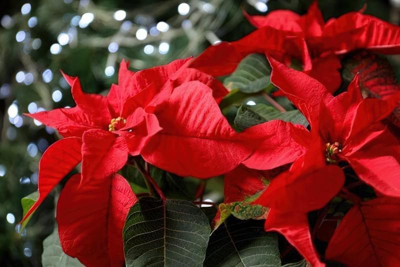 Квітучі кімнатні рослини до Нового Року та Різдва 2