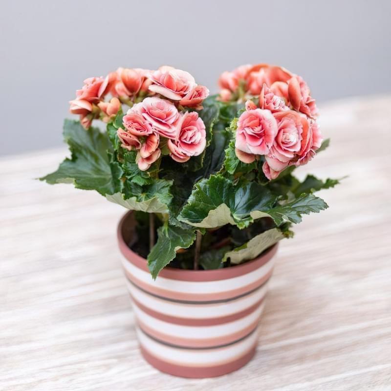 Квітучі кімнатні рослини до Нового Року та Різдва 4