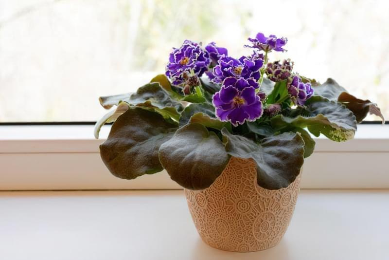 Квітучі кімнатні рослини до Нового Року та Різдва 6