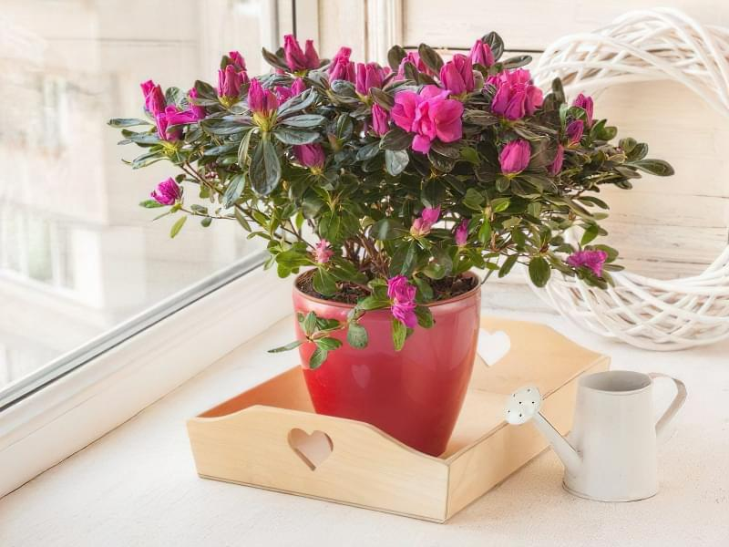 Квітучі кімнатні рослини до Нового Року та Різдва 7