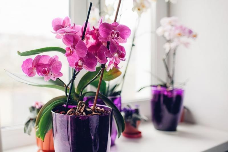 Квітучі кімнатні рослини до Нового Року та Різдва 8