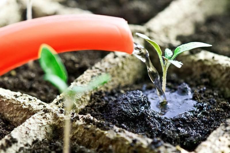 Чорна ніжка у розсади помідорів: симптоми, профілактика 4