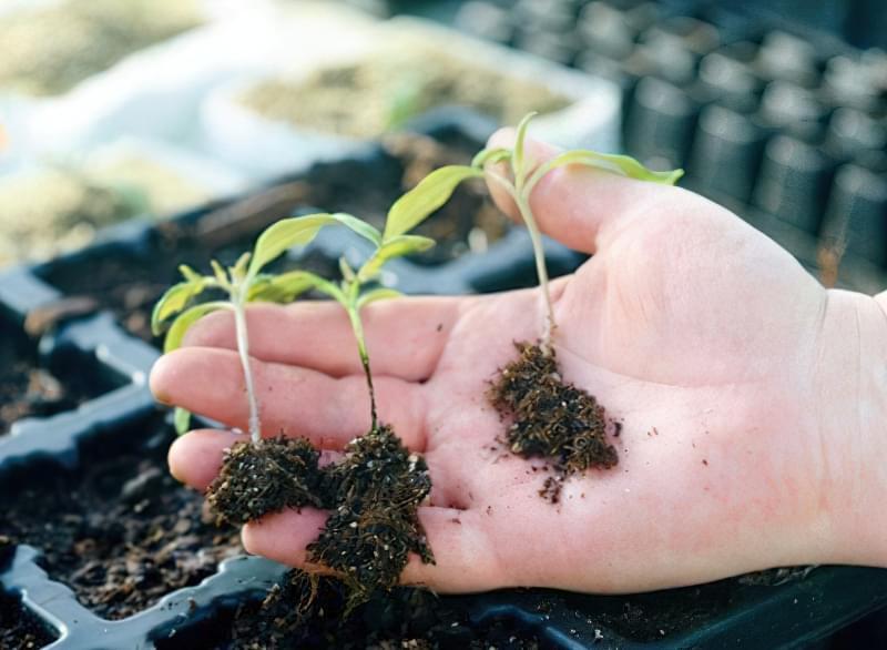 Чорна ніжка у розсади помідорів: симптоми, профілактика 10