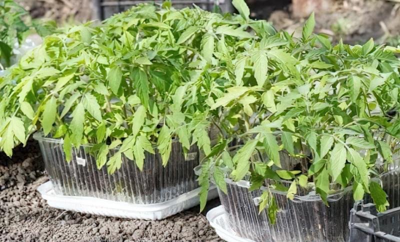 Помилки, які погублять вашу розсаду томатів 3