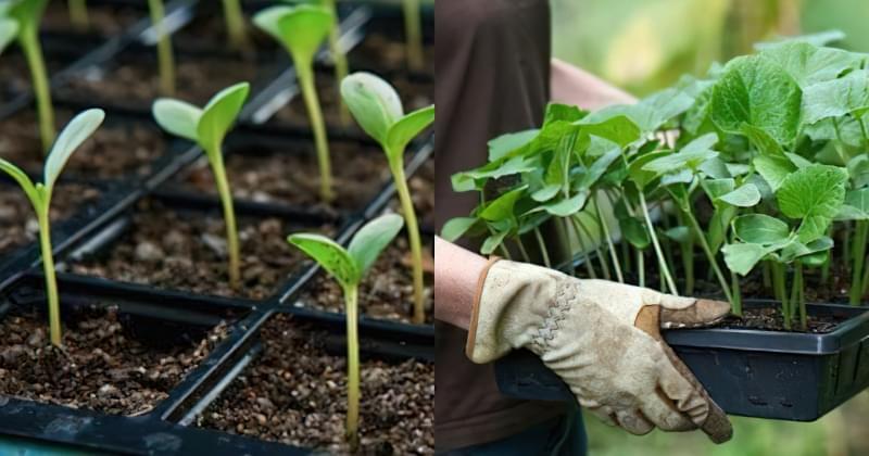 Як спростити вирощування розсади, якщо у вас мало часу 3