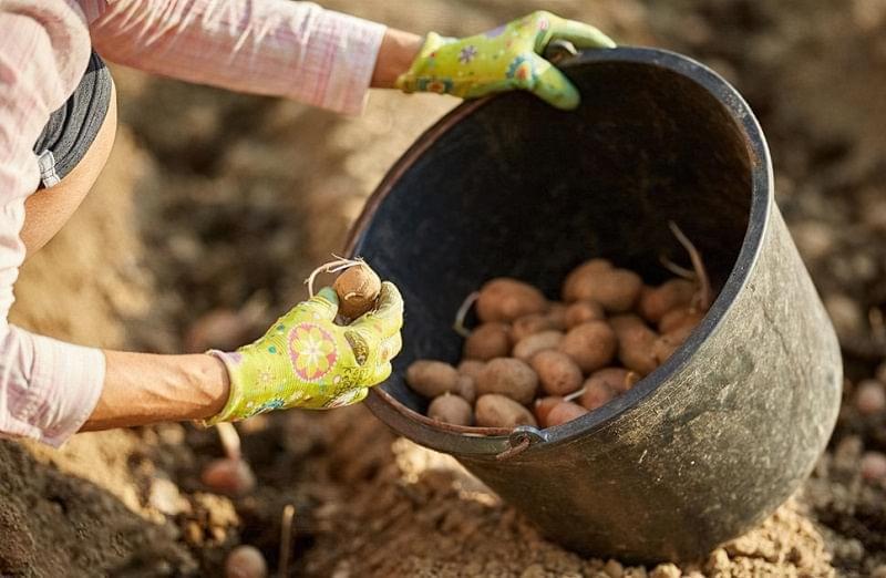 Вибираємо картоплю для посадки 3