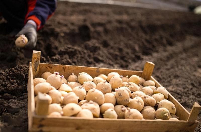 Вибираємо картоплю для посадки 2